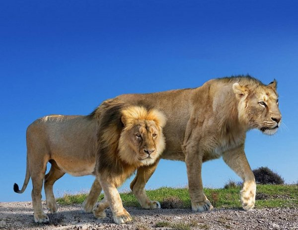 Современный лев и вымерший американский лев