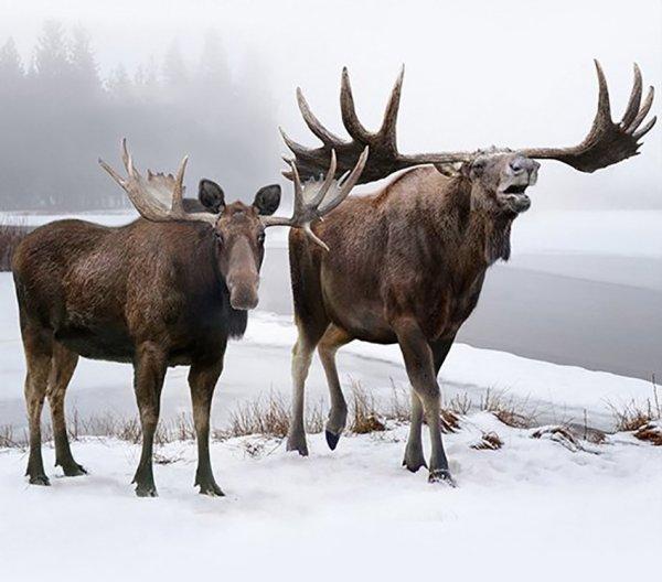 Аляскинский лось и вымерший широколобый лось