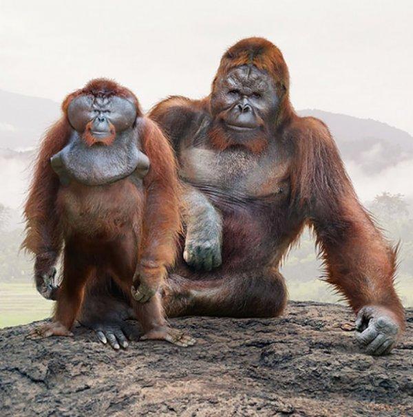 Суматранский орангутан и вымерший гигантопитек