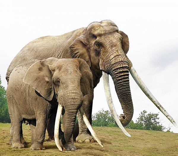 Африканский слон и вымерший прямобивневый лесной слон