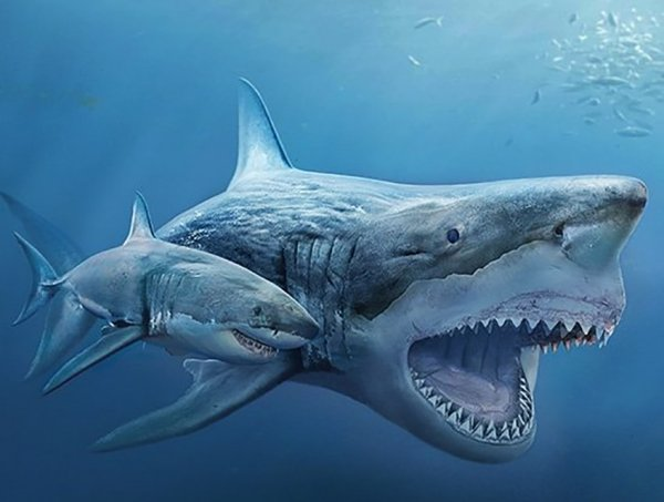 Белая акула и вымерший Мегалодон