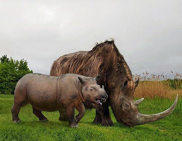 Суматранский носорог и вымерший шерстистый носорог