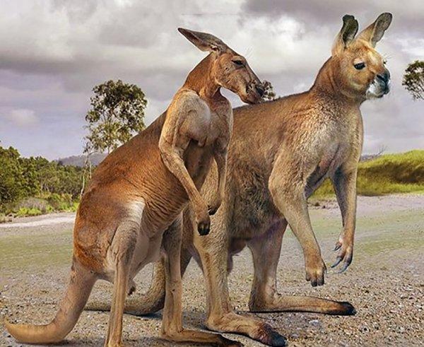 Большой рыжий кенгуру и прокоптодон