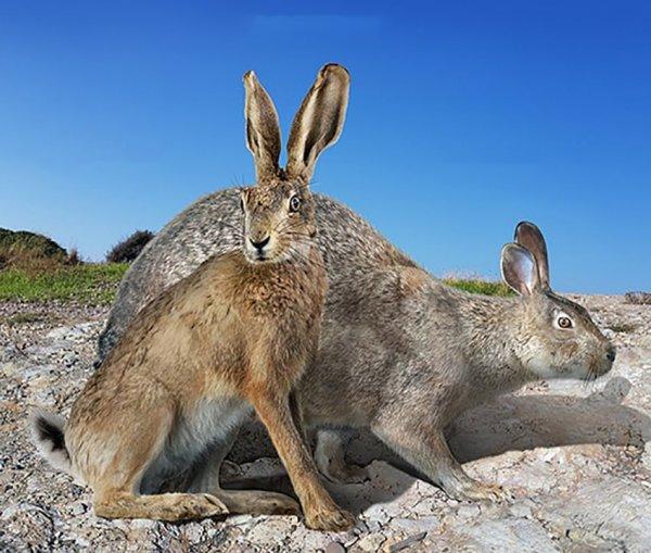 Заяц-русак и вымерший гигантский меноркский заяц