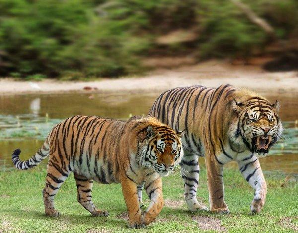 Сибирский тигр и вымерший нгандонгский тигр