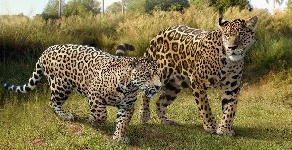 Южноамериканский ягуар и вымерший плейстоценовый ягуар