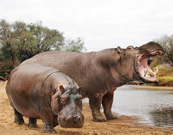 Бегемот и вымерший гигантский бегемот (Hippopotamus major)