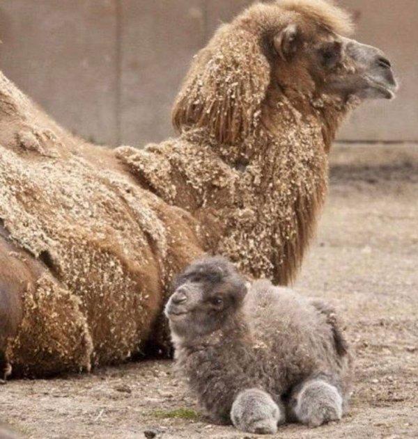 Взрослый и новорождённый верблюд