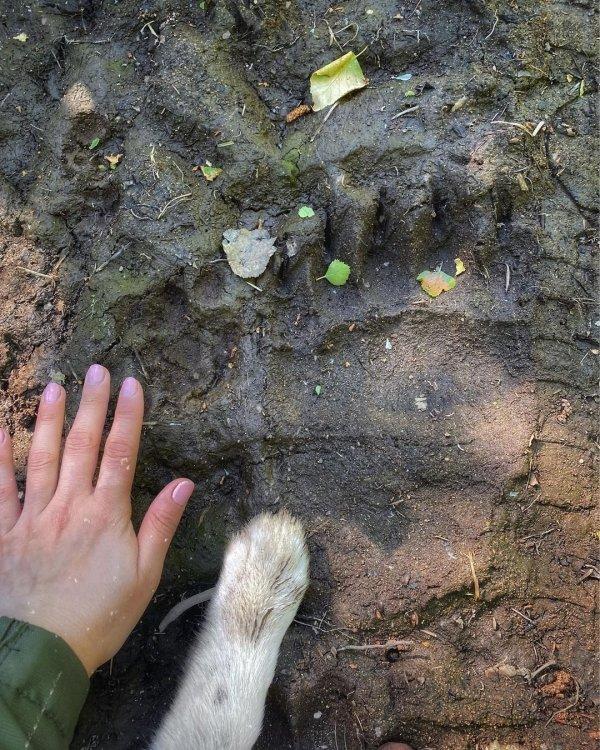 След бурого камчатского медведя в сравнении с ладонью взрослого человека и лапки собаки