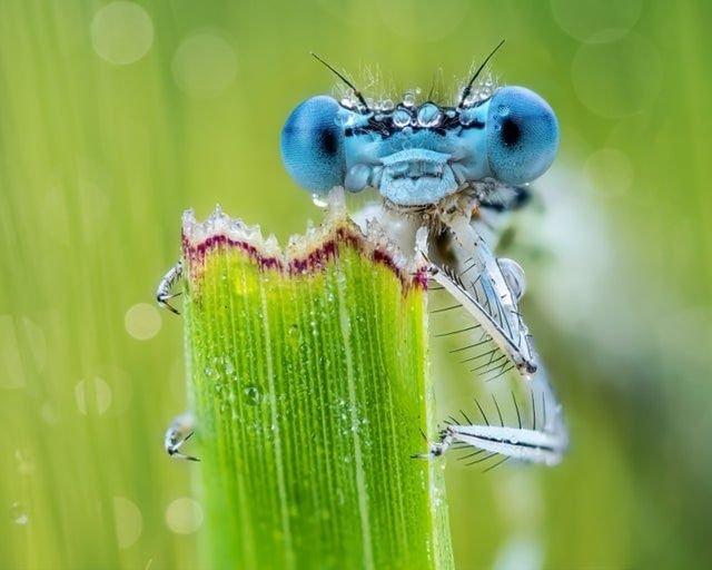 Равнокрылая стрекоза