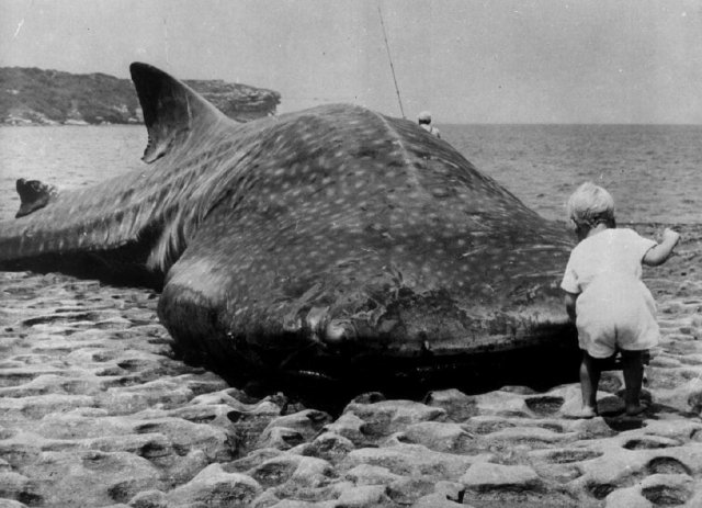 Маленький ребенок и гигантская китовая акула выброшенная на побережье Австралии, 1965 год.