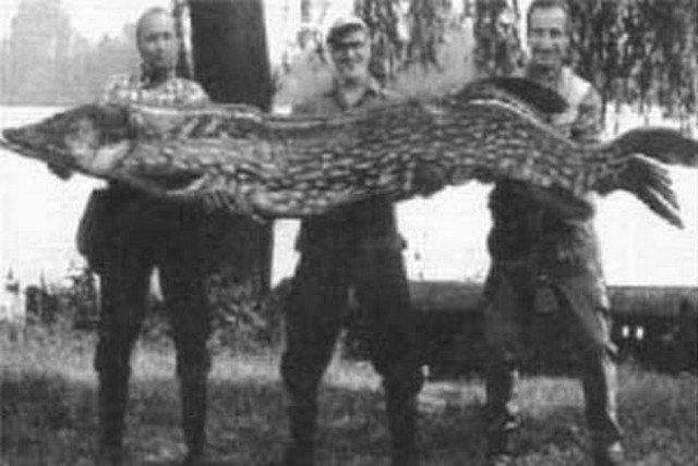 Самую большую щуку в России поймали в озере Ильмень в 1930 году.