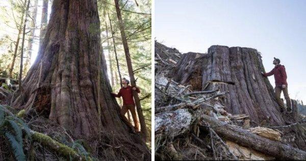 До и после вырубки старого леса в Канаде