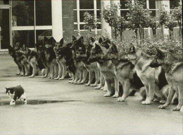 Кот и трeнированные немецкие овчарки - финальный экзамен для служебных собак полиции. ФРГ, 1987 год.