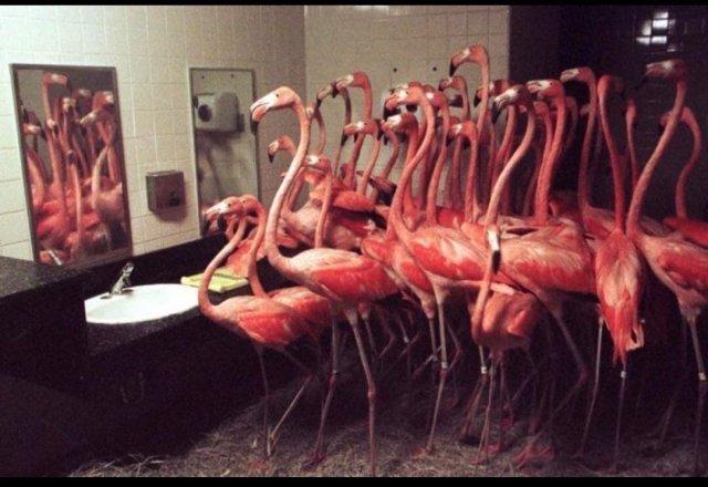 Фламинго пepeжидают ураган Эндрю в тyaлете зоопарка Майами, 1992 год, США.