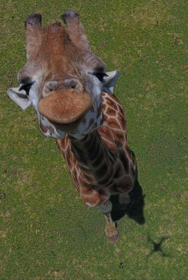 Жираф, вид сверху