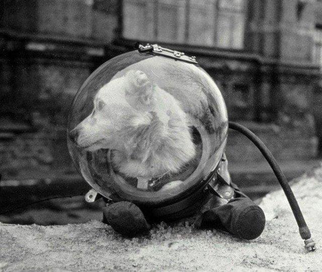 Белка, советская собака совершившая космический полёт на корабле «Спутник-5» 19 августа 1960 года.