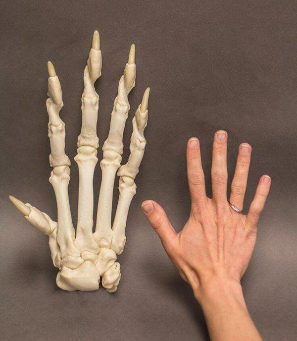Скелет лапы тигра и человеческая рука