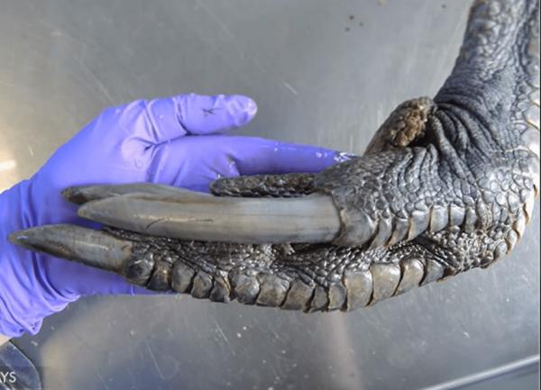 Коготь самца южного казуара в сравнении с человеческой рукой