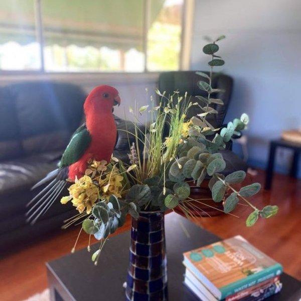 Если не закрывать окна, может прилететь дикий попугайчик. Бена, штат Виктория