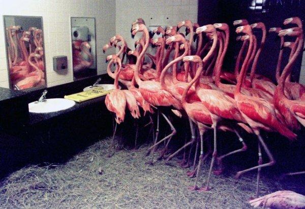В 1992 году работники зоопарка Майами поместили 30 фламинго в ванную комнату, чтобы защитить их от урагана Эндрю