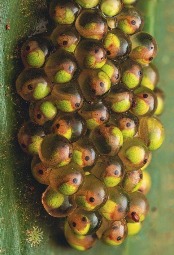 Яйца красноглазой древесной лягушки