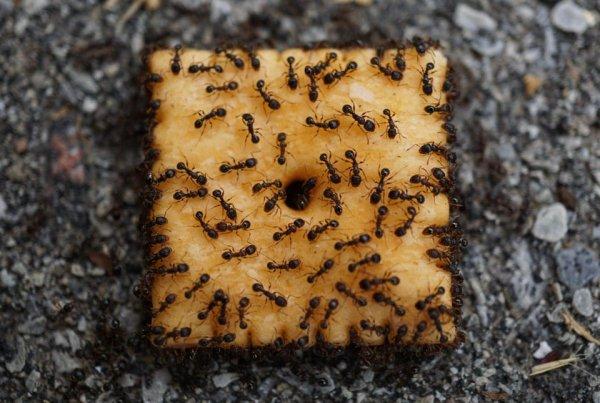 Муравьи атаковали сырный крекер