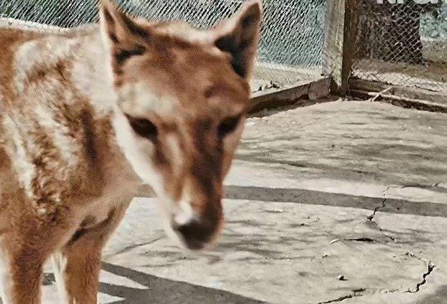 Оцифрованное и раскрашенное видео с тасманийским тигром (сумчатым волком)