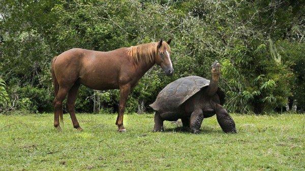 Размер Галапагосской гигантской черепахи по сравнению с размером лошади