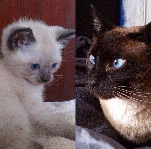Как изменился цвет моей сиамской кошки Лолы