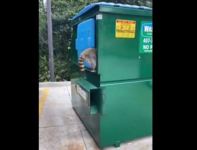 Не стоило мешать енотам копаться в мусорном контейнере