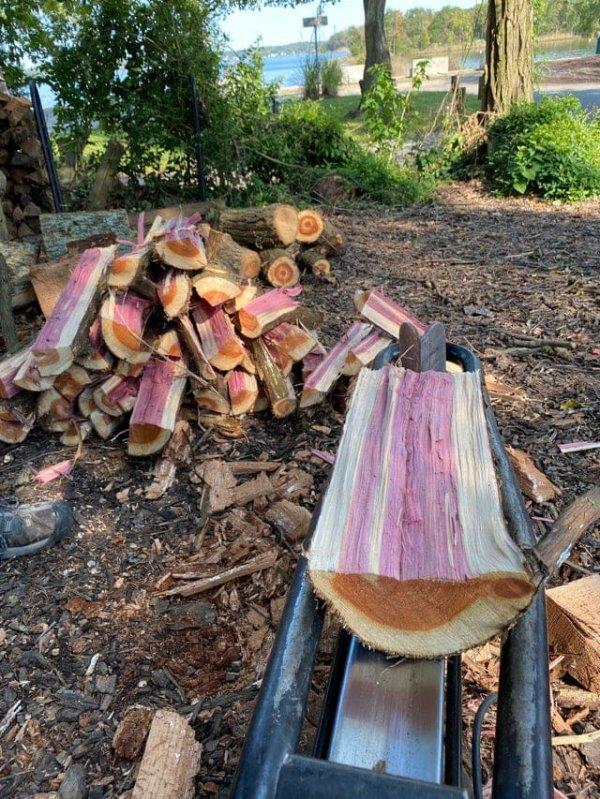 Срубили кедровое дерево, а оно розовое внутри