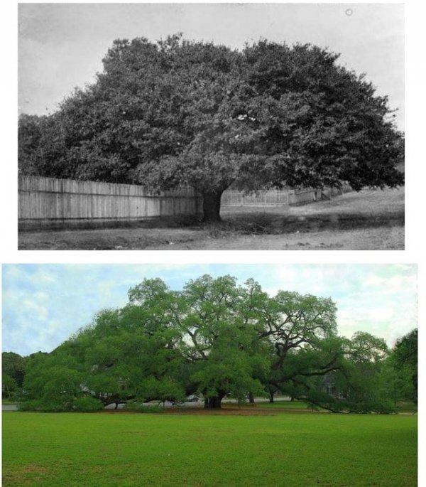 Большой дуб, Томасвилл, Джорджия, 1895 и 2020 годы