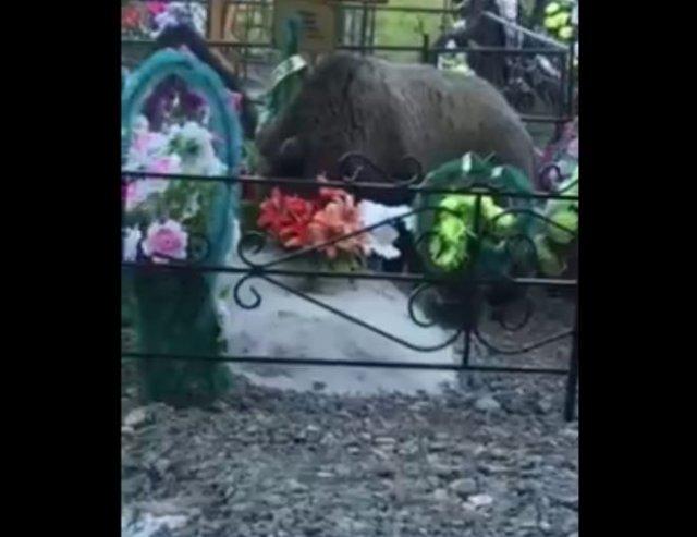 Жителей Ханты-Мансийска пугает медведь, который приходит поесть на местное кладбище