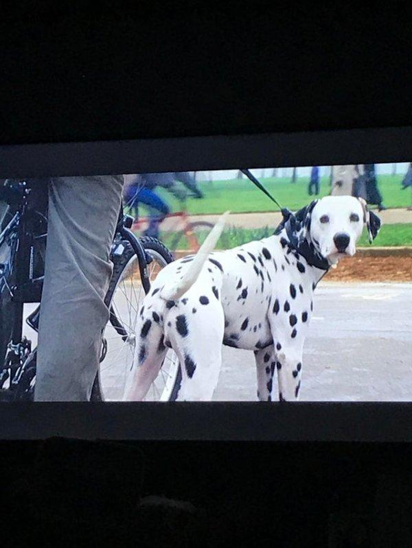 В фильме «101 дальматинец» пёс по кличке Понго — отец 15 щенков. Вот только сыграл его кастрированный пёс