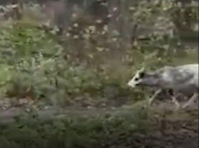 С приходом первого снега в Петербурге из леса вышли олени Санты