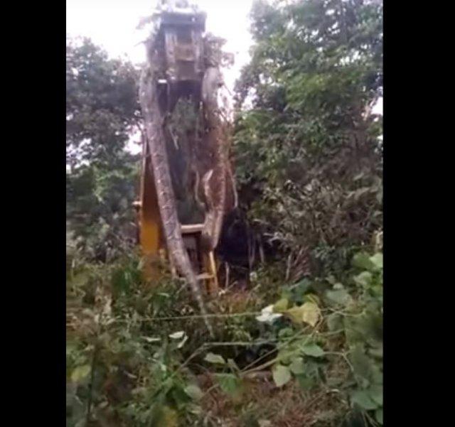 Огромную змею из леса пришлось вывозить с помощью экскаватора