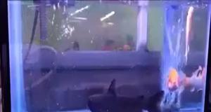 Неожиданный встреча во аквариуме