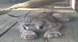Рыси равно как могут взяться милыми кошками