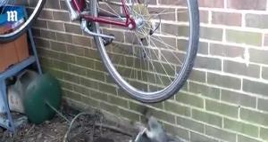 Драка енотов вслед за власть кататься для велосипедном колесе