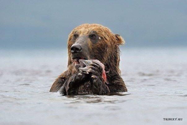Медведь показывает знакомой рыбе своих детей,играющих на берегу.