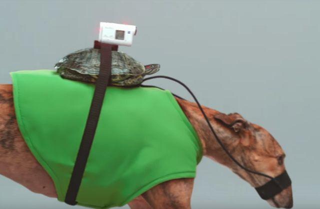 Черепахи-наездники