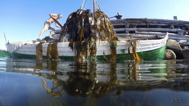 Как добывают водоросли ламинарии на Соловках (3 фото)