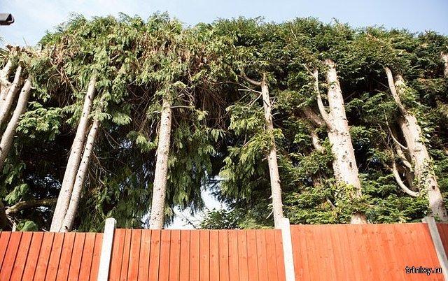 """""""Война"""" соседей из-за вечнозеленых деревьев (7 фото)"""