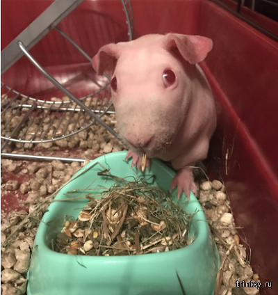Оптимизма пост. Даже морская свинка альбинос заслуживает любви (5 фото)