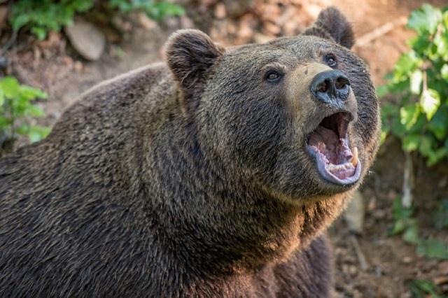 На Камчатке медведь-воришка утащил припасы у путешественников