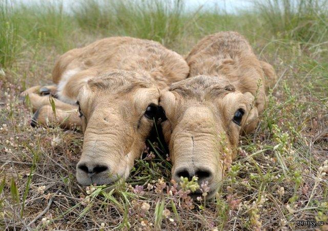 Самый милый пост за сегодня: детеныши сайгаков в Казахстане (5 фото)