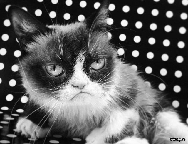 Умерла Grumpy Cat (сердитая кошка), ставшая легендарным мемом