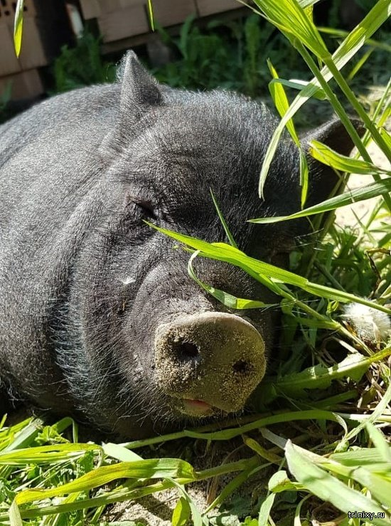 Мерзавцы. В Ростве воры не смогли пробраться в дом и из мести украли карликовую свинку (4 фото + видео)