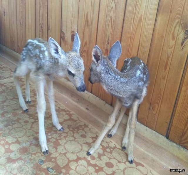 Иркутские туристы украли диких оленят из заповедника (3 фото)